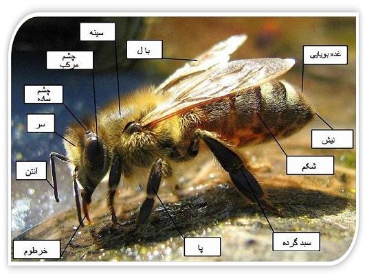 ساختار بدن زنبور