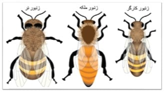 انواع زنبور کندو